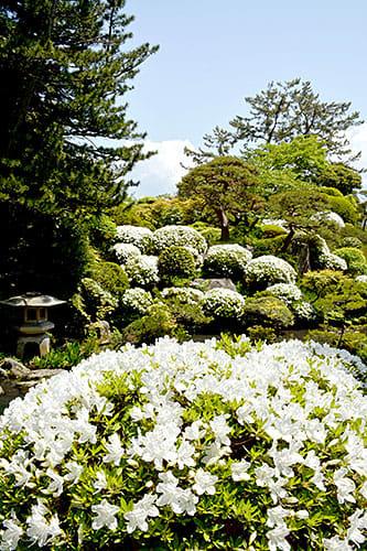 マツやモッコクの緑に囲まれ、白ツツジの花がかれんに咲き誇っている=酒田市・本間美術館