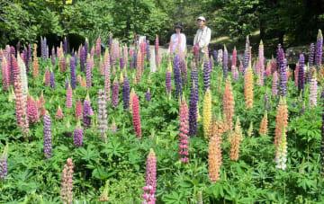 色とりどりの花を咲かせたルピナス+(宇治市広野町・市植物公園)