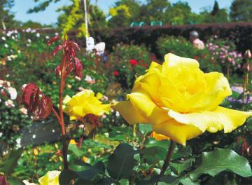色とりどりのバラが咲いている(5月8日撮影)