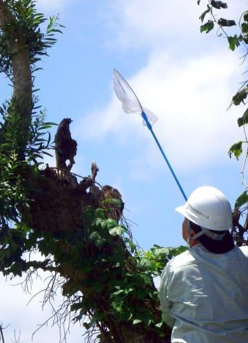 網を手に捕獲を試みる眞喜志克也区長。折れた枝の根元は鳥そっくりだった=名護市・我部公民館