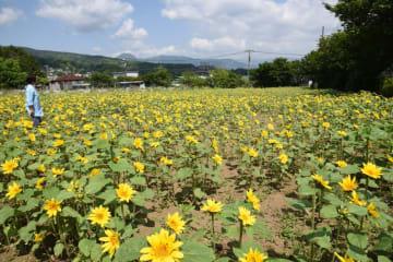 初夏の陽光に咲きそろうヒマワリ=ユートピア農園