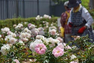 都筑中央公園円形広場の「ローザ・つづきく」=横浜市都筑区