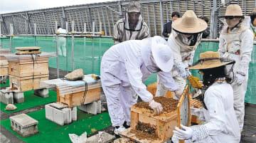蜜蜂が飛び交う中、巣箱から蜜の詰まった巣枠を取り出す市民サポーターら