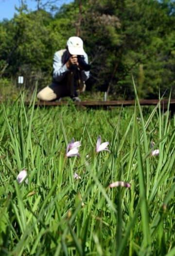 龍泉寺で咲き始めたトキソウ
