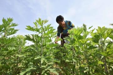 ヨモギ栽培、農家の収入増を後押し 河北省邯鄲市