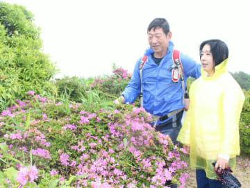 ミヤマキリシマを眺める登山客=19日午前、玖珠町