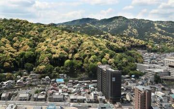 逢坂山から長等山にかけて、淡黄色のシイノキの花が山肌を彩る(大津市春日町から北西を望む)