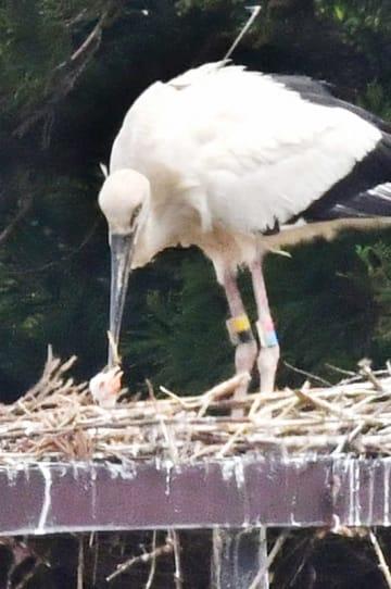 55年ぶりに福井県内の野外で誕生したひなと、親鳥のたからくん=5月14日午後1時35分ごろ、福井県越前市安養寺町