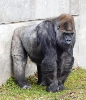 19日深夜に死んだニシゴリラの「ドン」(八木山動物公園提供)