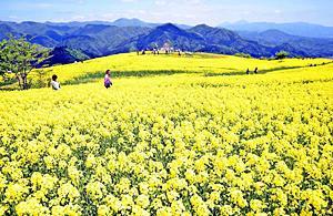 〔ふくしま花だより〕三ノ倉高原の菜の花畑 黄色いじゅうたん