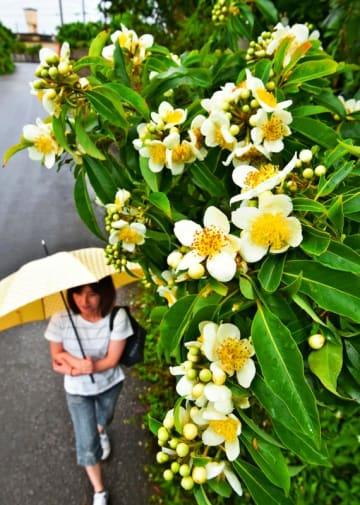 雨に濡れるイジュの花=20日午後、宜野座村松田(金城健太撮影)