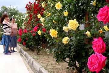 色とりどりに咲いたバラを眺める来場者+(大津市苗鹿3丁目・県湖西浄化センター)