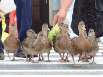 近隣住民が見守る中、鴨川に向けて川端通を横断する子ガモたち(京都市左京区)