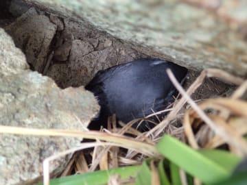 小枇榔の岩場で卵を温めているとみられるカンムリウミスズメ(大槻都子代表提供、箕輪義隆さん撮影)