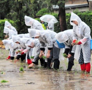 雨の中、手植えをする学生たち
