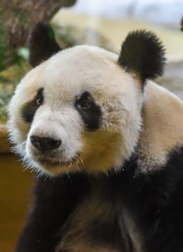 パンダの「園園」、ウィーンで一般公開始まる