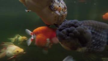 金魚の王様「らんちゅう」を訪ねて 福建省閩侯県