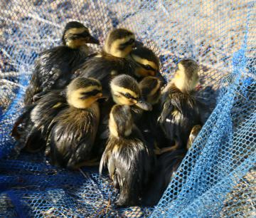 救出された12羽のカルガモのひな=取手市清水