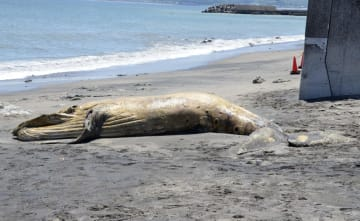 海岸に打ち上げられたザトウクジラの死骸=22日正午ごろ、神奈川県横須賀市