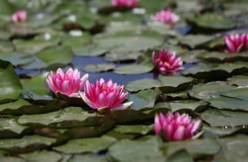 水辺に咲くスイレン 夏の到来を告げる