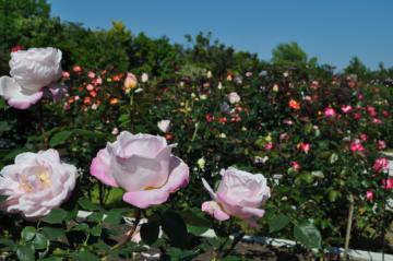 「ローズフェスティバル」平塚花菜ガーデンでバラ1300種が見頃です