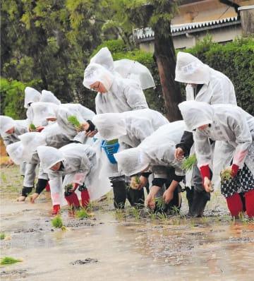 雨の中、苗を手植えする学生たち