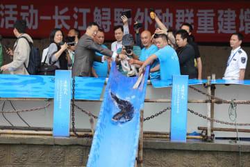 長江水生生物保護活動始動 10万匹のチョウザメ放流 四川省宜賓