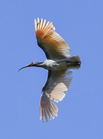 放鳥され、空を舞うトキ=22日、韓国・昌寧(共同)