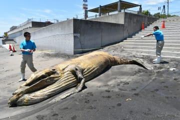 クジラの死骸を調べる京急油壺マリンパークの職員=22日午前11時45分ごろ
