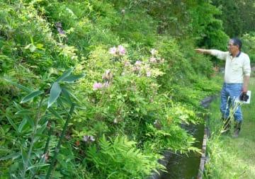 今宮ささゆり苑としてオープンする集落の斜面。手前が花を咲かせる前のササユリ(京都府南丹市美山町今宮)