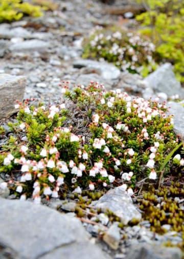 白くかれんな花を咲かせ始めた銅山峰のツガザクラ