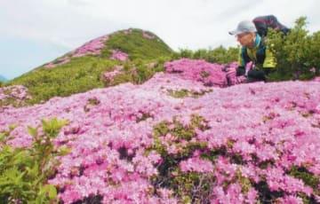 ミヤマキリシマが咲き誇るくじゅう連山=昨年6月、竹田市久住町