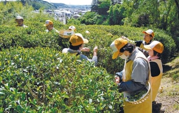 丘陵地の茶畑で茶摘みに励む市民ら