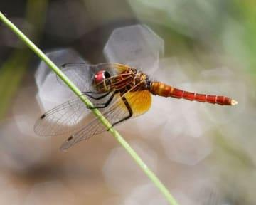 湿地の植物に止まり、羽を休めるハッチョウトンボ