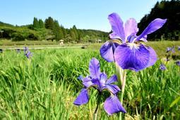 今年も鮮やかなハナショウブが開き始めたものの1年間の休園になる「花しょうぶ園」=三田市永沢寺