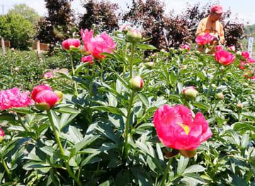 6月中旬まで多彩な品種の花が咲く「しゃくやく祭り」が始まった=南陽市・諏訪神社