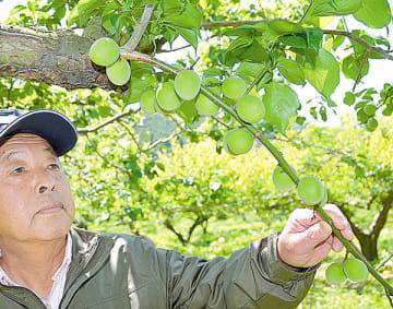 収穫期を迎えた梅の実に目を向ける宮崎さん=越生町小杉のみやざき園