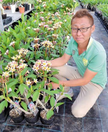 開花させたプルメリアの鉢を見る志木フラワー経営の金子直哉さん=富士見市水子