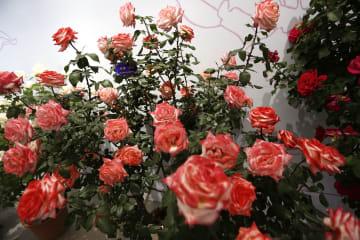 チャイナローズ·コンテストに300品種以上出展 北京園芸博