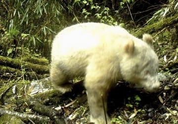 四川省臥竜の自然保護区管理局が公開した白いジャイアントパンダの写真=4月、中国四川省(共同)