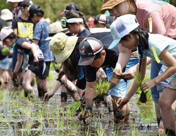 泥だらけになりながら苗を植えていく子どもたち=26日、鳥取県伯耆町丸山