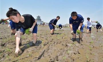 田んぼアートの第1会場で、丁寧に苗を植えていく参加者たち