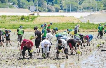 田んぼアートの苗を植える参加者