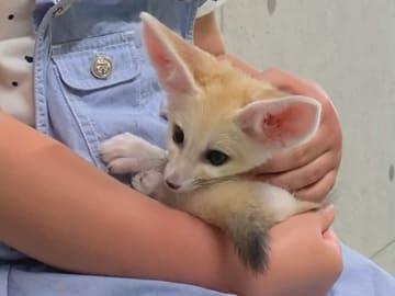 アニマルカフェで公開されている宮津生まれのフェネックの赤ちゃん(京都府宮津市・リトルフェアリー)