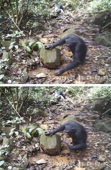 水たまりに生息する沢ガニを食べるチンパンジー(チューリヒ大のカテリーナ・クープス博士提供)