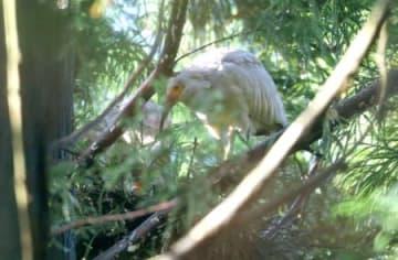 野生下で今季初めて巣立ちが確認されたトキのひな=29日、佐渡市(環境省提供)