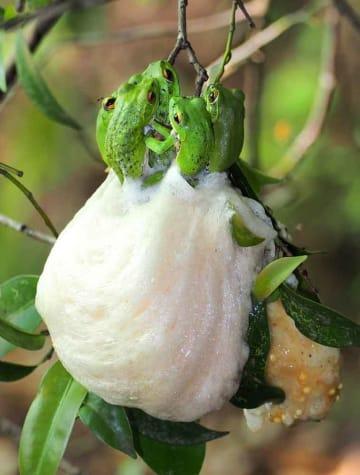 木の枝に白い卵塊を産み付けるモリアオガエル(29日午前8時30分、京都府福知山市大江町内宮・元伊勢内宮皇大神社)