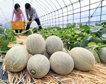 収穫作業が最盛期を迎えているメロン=29日午前10時10分、真岡市清水