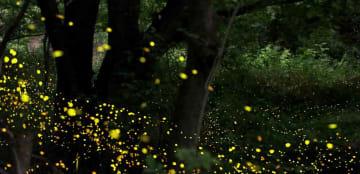 明滅しながら草むらや木立を縫うように飛ぶヒメボタル(28日午前0時20分から約1時間撮影、京都府大山崎町)=30秒露光の画像46枚を合成