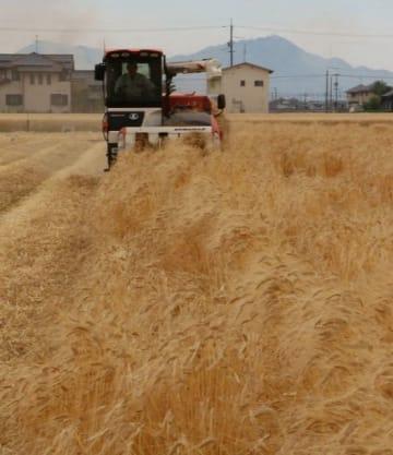 児島湾干拓地で本格化している二条大麦の収穫作業